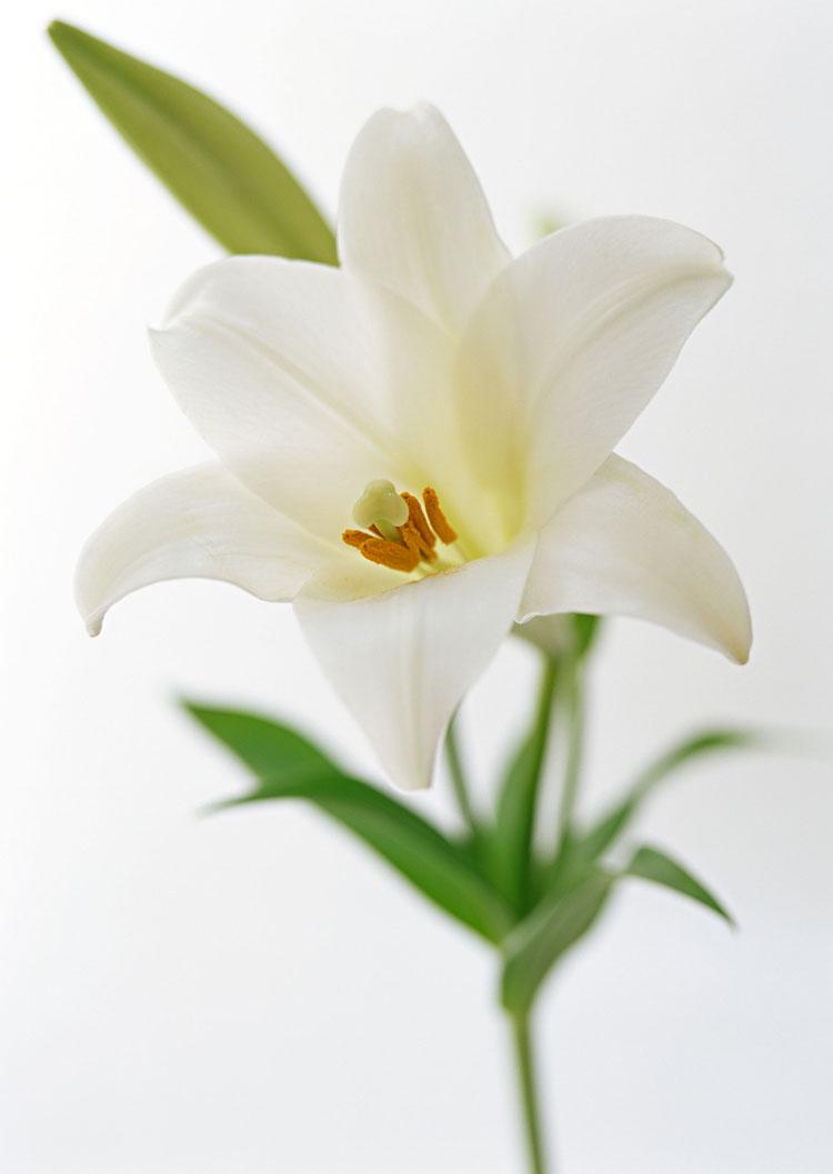 Рисунки цветов лилии фото