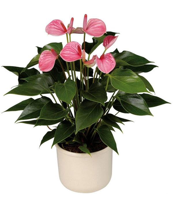 Цветок мужское счастье фото уход в домашних условиях размножение